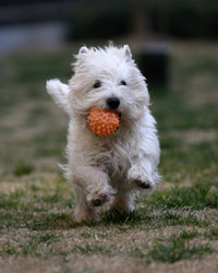 white terrier running with orange ball