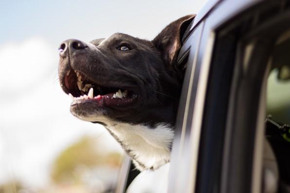 dog with head outside car window