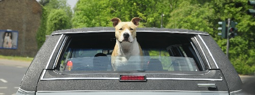 pitbull sticking head out of car window