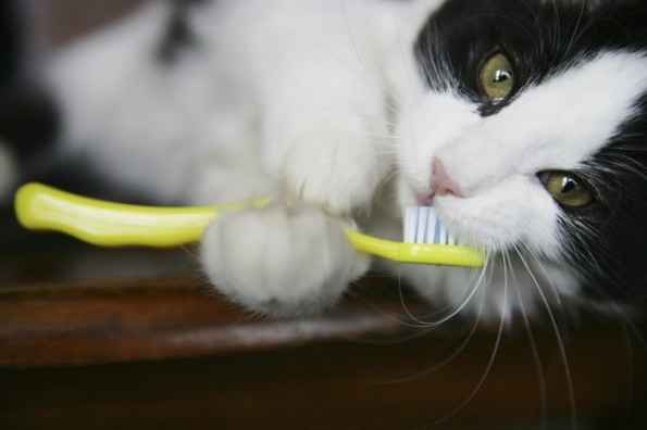Black and white cat holding a toothbrush