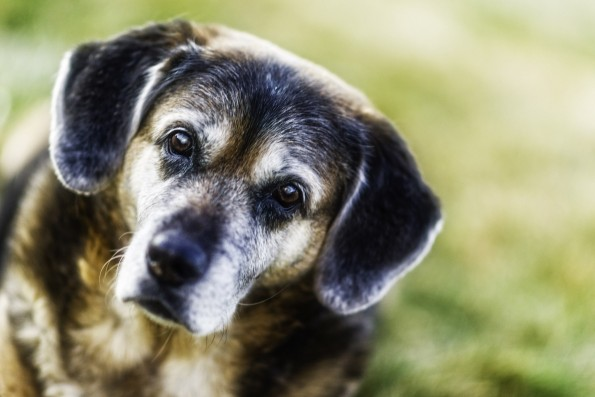 old mixed breed dog looking in to camera