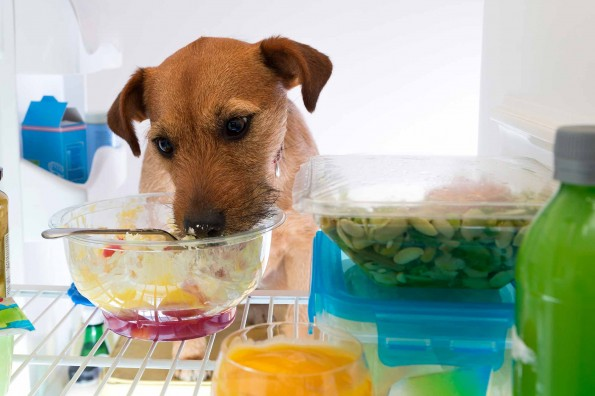 Jack Russel Terrier eating from refrigerator