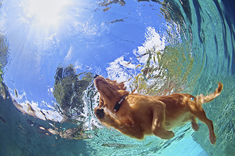 golden retriever swimming underwater photo