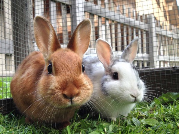 brown rabbit and white and grey rabbit in cage