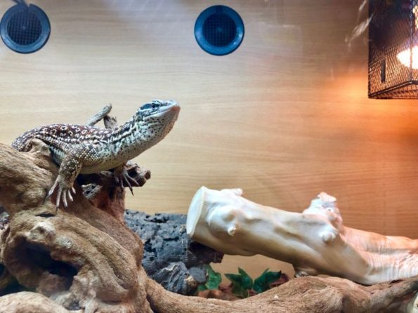 Caring For Your Pet Lizard For Good Health And Wellness Paws Purrs Exotics Animal Hospital